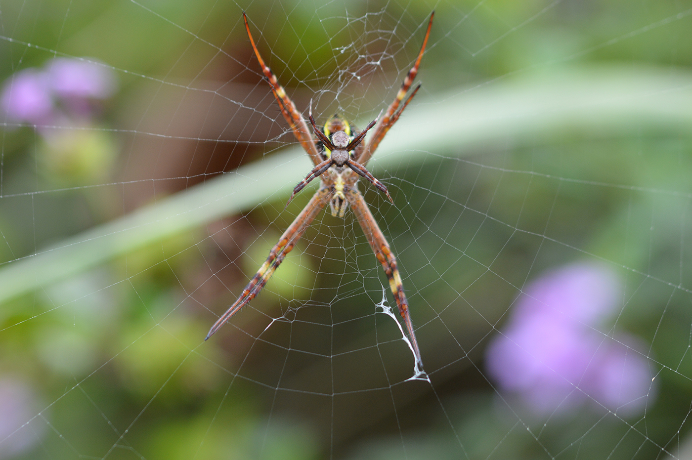 Female Argiope keyserlingi with male on the web